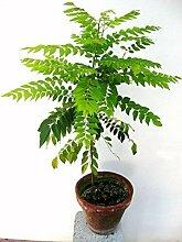Pinkdose® Kraut Samen - Curry Blatt Pflanzensamen