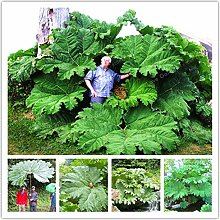 Pinkdose Mammutblatt Pflanze auch genannt Riesen