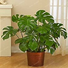 Pinkdose New Perennial Bonsai Pflanze Philodendron