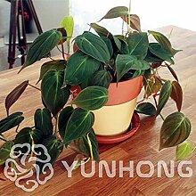 Pinkdose Philodendron erubescens 10 Arten