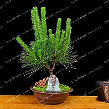 Pinkdose Pinus Thunbergii Bonsai Kiefer Bonsai