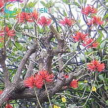 Pinkdose Real Bonsai! 50pcs / lot Japan Erythrina
