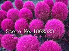 Pinkdose Verkauf!100 stücke kochia gras