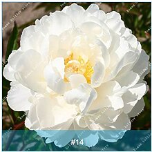 Pinkdose ZLKING 10 Herbaceous Pfingstrose Blume