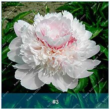 Pinkdose ZLKING 10 Krautige Pfingstrose Blume