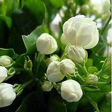 Pinkdose® 20 Teile/beutel Jasmin Pflanze
