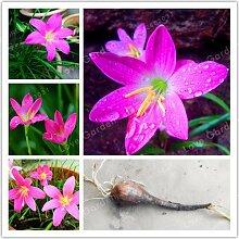 Pinkdose® 2bulb Zephyranthes Candida
