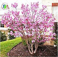 Pinkdose® 30 Teile/beutel Magnolia Baum