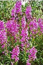 Pinkdose500 Fireweed-Samen, AKA-Weide-Kraut,