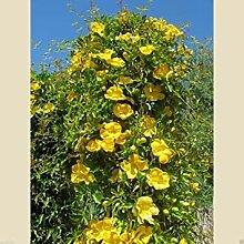 Pinkdose® Carolina Yellow Jessamine (Gelsemium