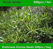 Pinkdose® ^^ Familie Sapindaceae Dodonaea