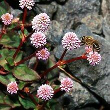 Pinkhead Smartweed Bodendecker Seeds (Polygonum