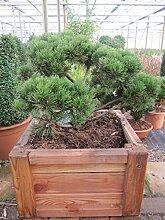 Pinus mugo mughus Formschnitt - Krummholz-Kiefer