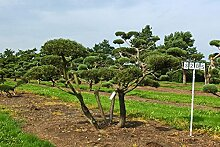 Pinus mugo mughus - NR. 3285