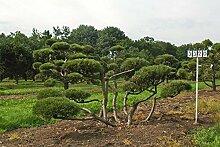 Pinus mugo mughus - NR. 3320