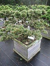 Pinus nigra Helga Bonsai - zwergige Schwarzkiefer