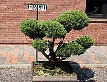 Pinus sylvestris 'Watereri'- NR. 1951