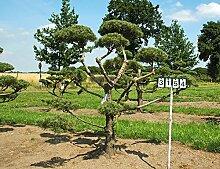 Pinus sylvestris - Nr. 3154