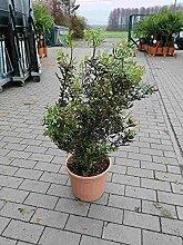 Pistacia lentiscus 80-100 cm / 10 Liter -