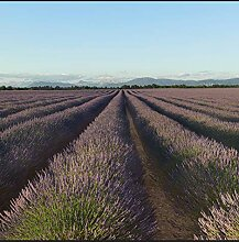 Plage Panorama-Tapete 250 Lavendel, Lila, 2,5x2,5m