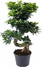 Plant in a Box - XL Ficus Ginseng Bonsaibaum -
