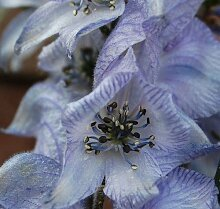Plant World Seeds - Aconitum 'Stainless
