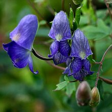Plant World Seeds - Aconitum Hemsleyanum Seeds