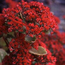 Plant World Seeds - Sedum Roy Lancaster Seeds
