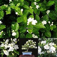 Plantree 1: 10 Stücke Weißer Jasmin Samen