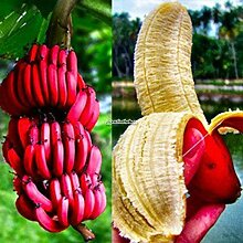 Plantree 40 Stücke Rote Banane Samen