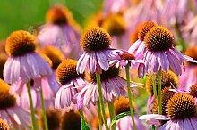 Plantree Purple Coneflower - Ruby Star - 300 Samen
