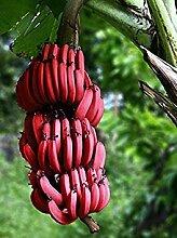 PLAT FIRM 100 PC sehr seltene rote Banane Samen,