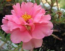 PLAT FIRM 100 Rosa Portulaca ndiflora/Roe