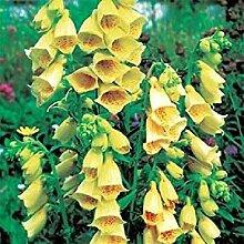 PLAT FIRM 100 Samen Purpurea Yellow Temple Glocke
