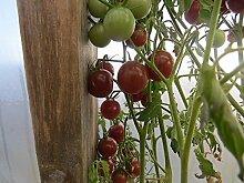 PLAT FIRM 100 Tomato Samen Kirschtomate Samen