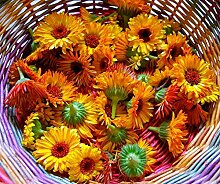 PLAT FIRM 1000 Calendula Samen, Topf Mari, Blume,