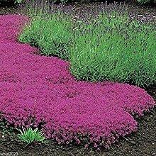 PLAT FIRM: 1000 Samen Thymian Seeds - Magic Carpet