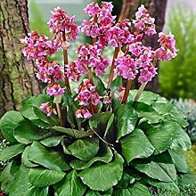 PLAT FIRM 15 Samen Heartleaf Bergenie Blumensamen