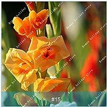 PLAT FIRM 15: ZLKING 2PC Wahre Gladiole Samen