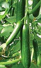 PLAT FIRM 250 Cucumber Samen Muncher Garten Samen