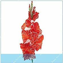 PLAT FIRM 4: ZLKING 2PC Wahre Gladiole Samen