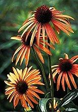 PLAT FIRM 5 Samen von Echinacea Orangenmeadow