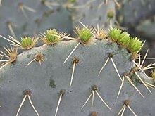 PLAT FIRM 5 Samen von Opuntia lindheimeri