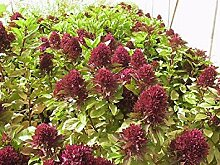 PLAT FIRM: 50 Basil Cardin Samen Samen Basilikum