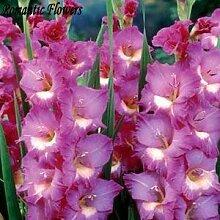 PLAT FIRM 50 Samen/Pack, Rare Lily Samen