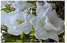 PLAT FIRM 50+ Weiß Doppel Campanula Cantery