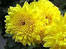 PLAT FIRM 500 Yellow Chryanthemum Morifolium