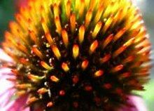PLAT FIRM 750+ Echinacea-Blumen-Samen ~ Sonnenhut