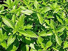PLAT FIRM: Basilikum- Clove- Ocimum Basilicum- 50