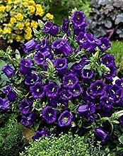PLAT FIRM Blau ingle Cantery Glocke, Campanula